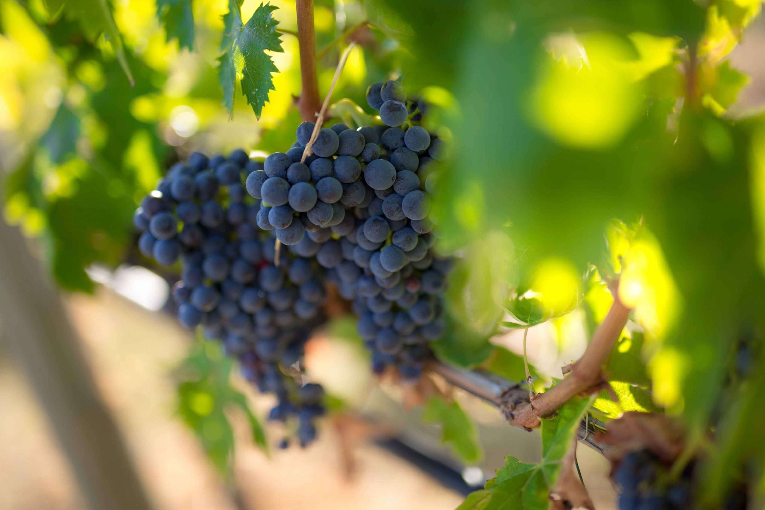 Quattrocalici… un viaggio tra i vini delle Cantine D'Uva
